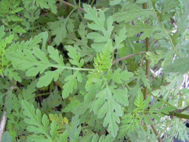 Ambrosia artemisifolia (Ragweed)