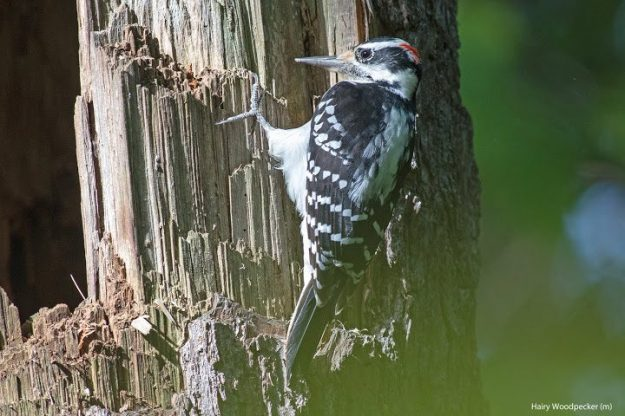 Hairy woodpecker (photo: Ian Valentine)