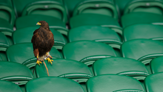 harris hawk at Wimbledon