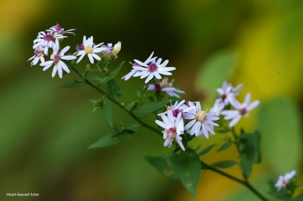 Symphyotrichum cordifolium (Heart-leaved aster) photo: Ian Valentine