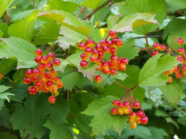 Viburnum lentago (Nannyberry)