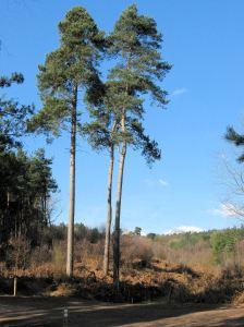 Pinus sylvestris (Scot's pine)