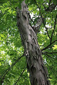 Carya ovate (Shagbark hickory)