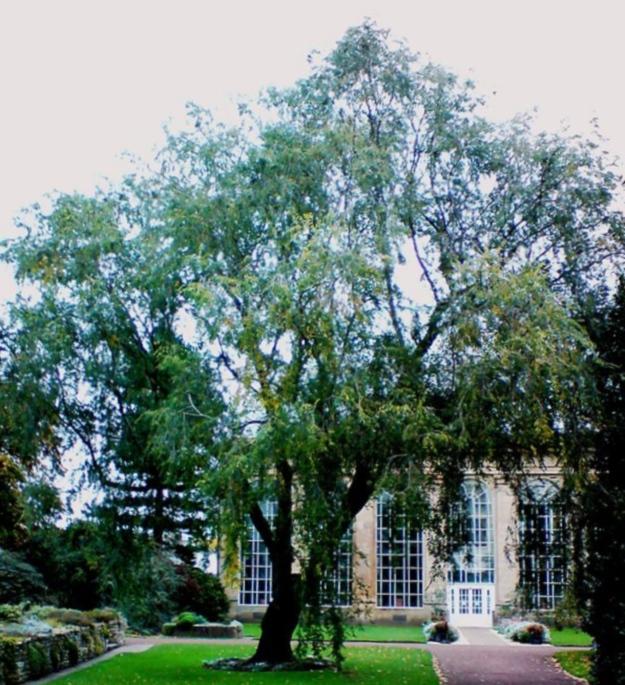 Ulmus pumila (Siberian elm)