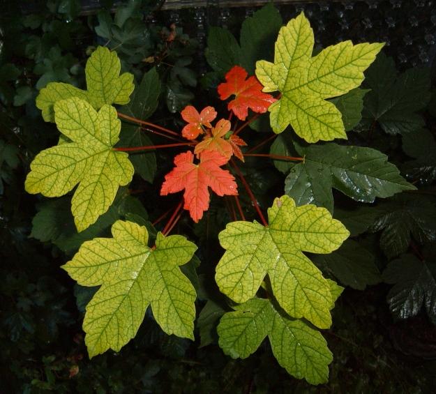 Acer pseudoplantanus (Sycamore maple)
