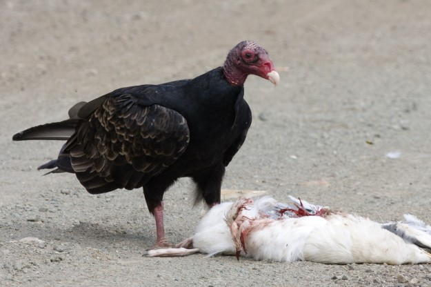 Turkey Vulture (photo: wikimedia)