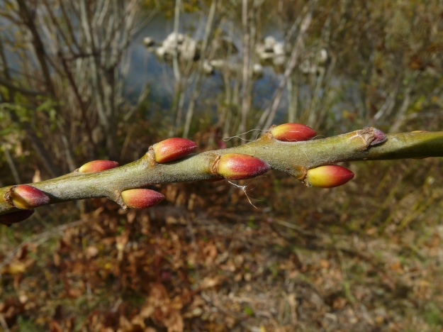 Salix caprea (sold as Pussy willow but called Goat willow in Europe) photo: Ken sproule