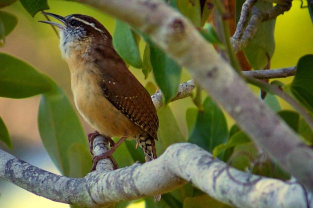 Carolina wren (photo: wikipedia)