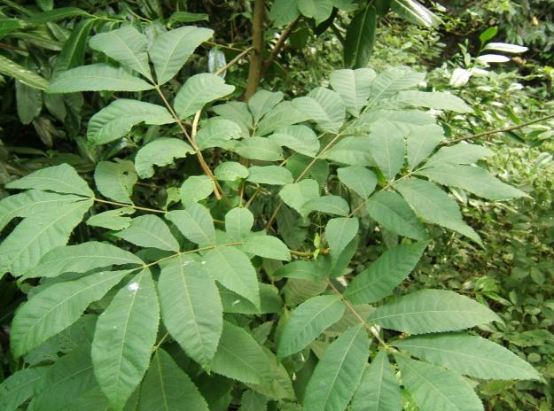 Carya cordiformus (bitternut hickory)