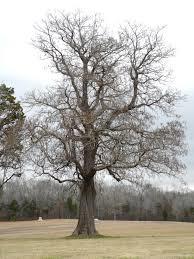 Catalpa speciosa (Catalpa tree)