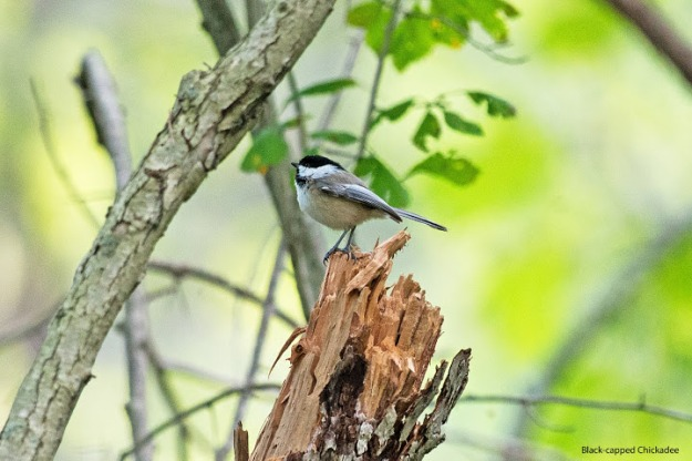 Black-capped chickadee (photo: Ian Valentine)