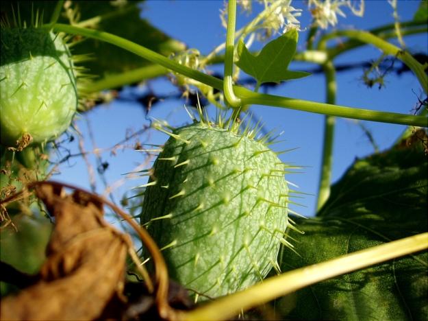 Echinocystis lobata (wild-cucumber)