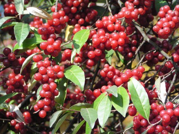 Elaeagnus umbellate (Autumn olive)