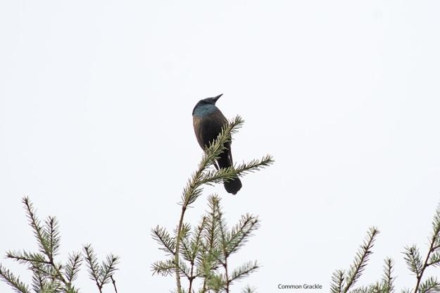 Common grackle (Photo: Ian Valentine)