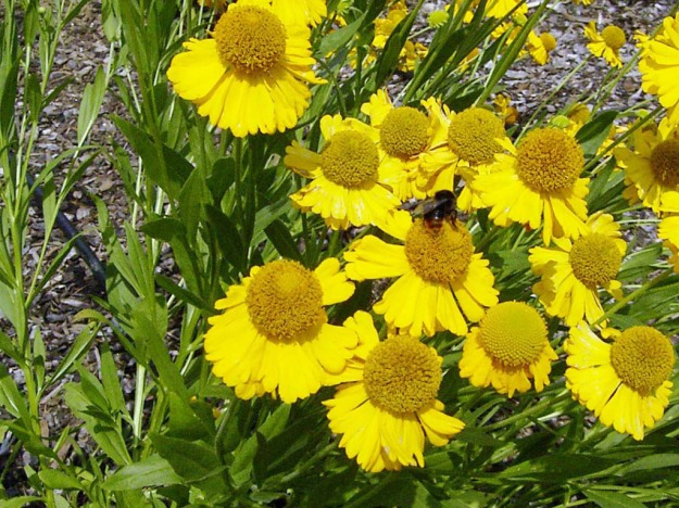 Helenium autumnale (sneezeweed)