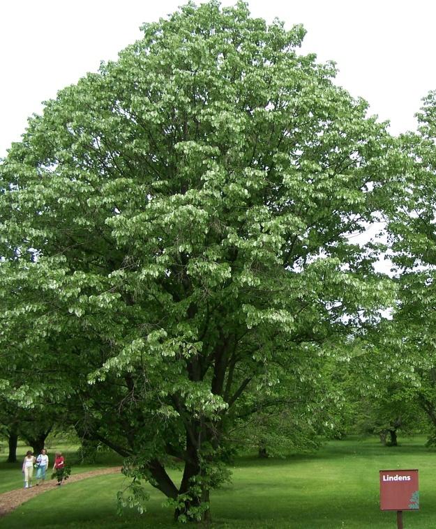 Tilia cordata (little leaf linden)