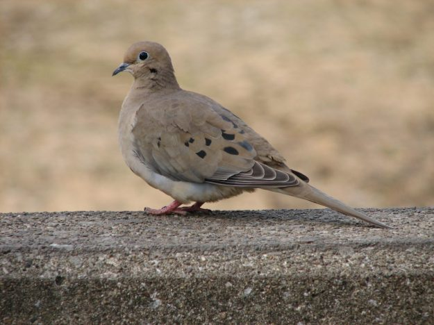 Mourning Dove (photo: wikimedia)