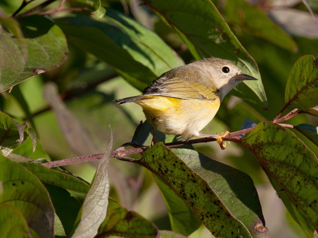 Nashville warbler (in fall)