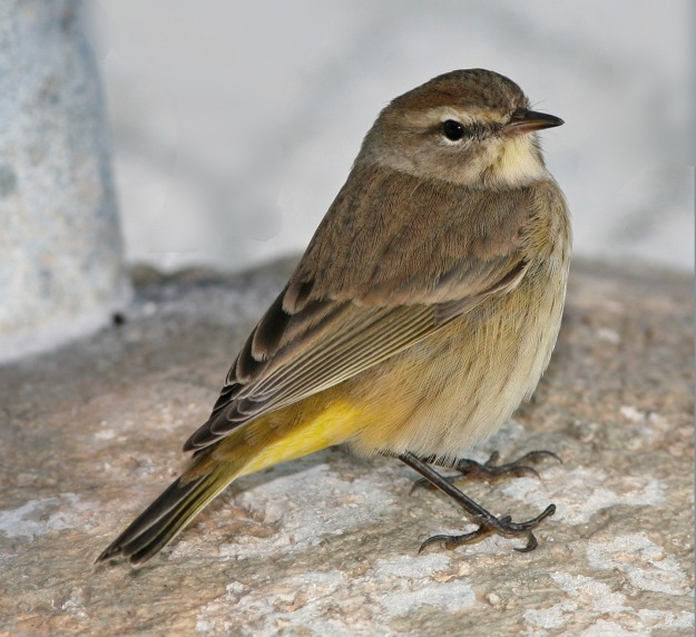 Palm Warbler (photo: wikimedia)