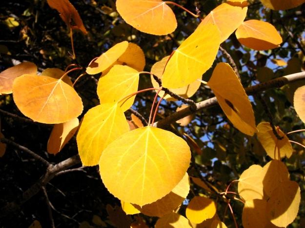 Populus tremuloides (trembling aspen)