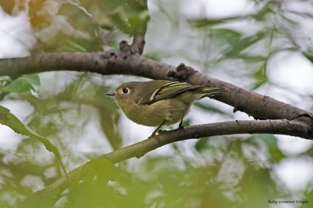 Ruby-crowned kinglet (photo: Ian Valentine)