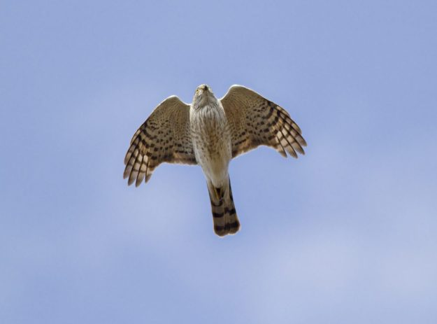 Sharp-shinned Hawk (photo: wikimedia)