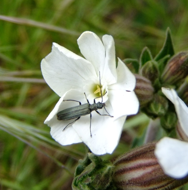 Silene latifolia (white campion)