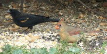 Red-winged blackbird and female cardinal: photo: Ken sproule