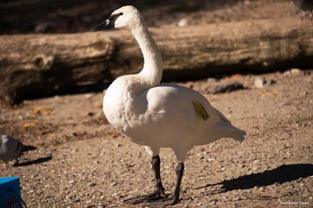 Trumpeter Swan (photo: Ian Valentine)