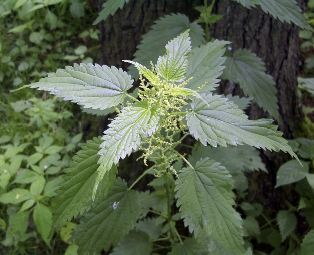 Urtica dioica (stinging nettle)