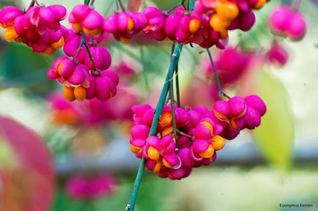 Euonymus atropurpurea (Burning Bush; Wahoo) photo: Ian Valentine