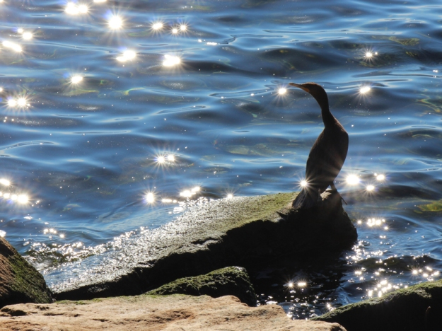 Cormorant Colonel Sam Smith Park