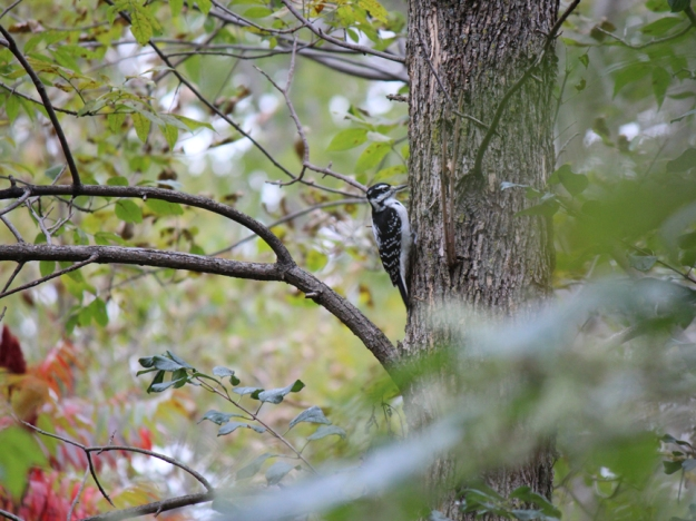 Hairy Woodpecker Crothers Woods