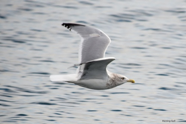 Herring gull (photo: Ian Valentine)