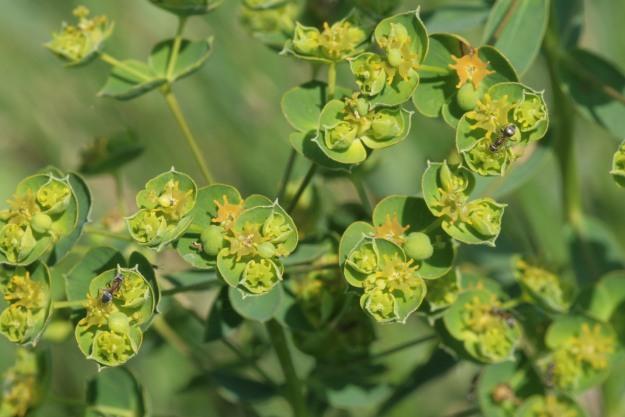 Euphorbia virgata (Leafy spurge)