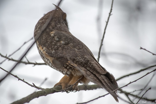 Mystery owl (photo: Ian Valentine)