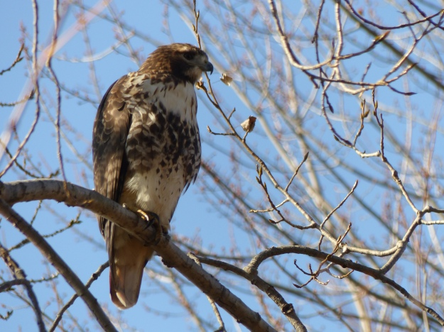 Red-tailed hawk (photo: John Burns)