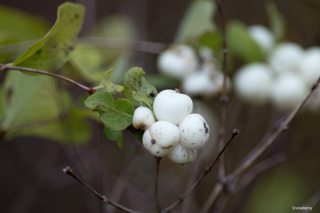 Symphoricarpos alba (snowberry) photo: Ian Valentine