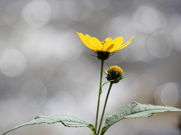 Woodland Sunflower Rouge National Urban Park