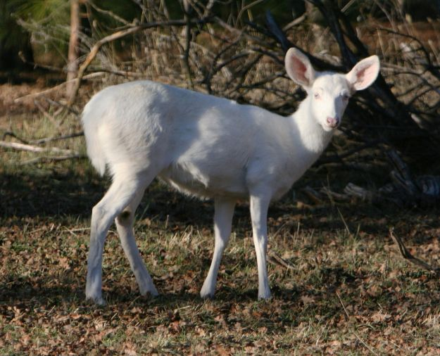 albinodeer