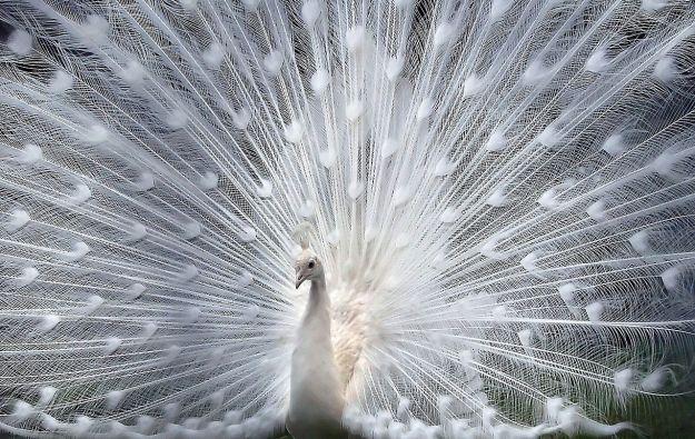 albinopeacock