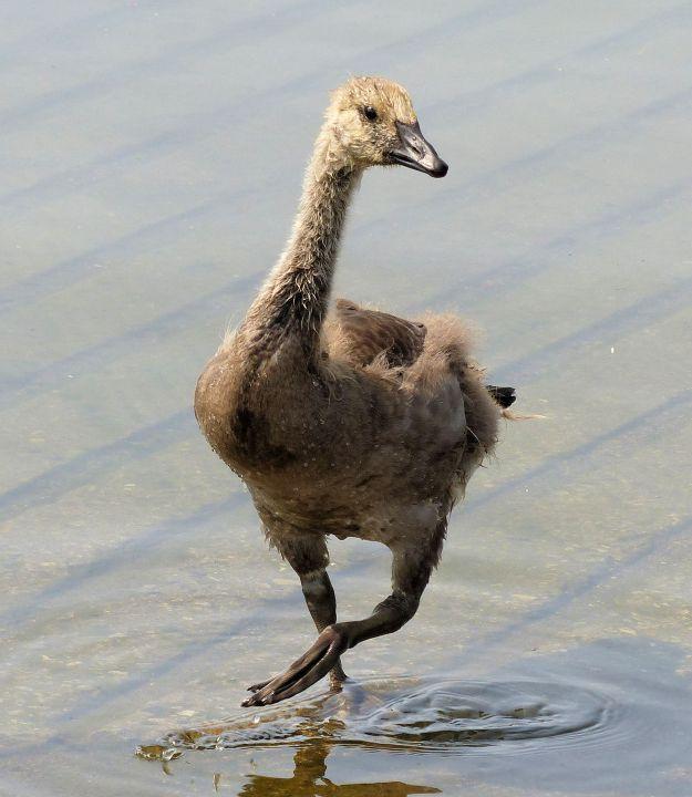 Canada goose (juvenile)