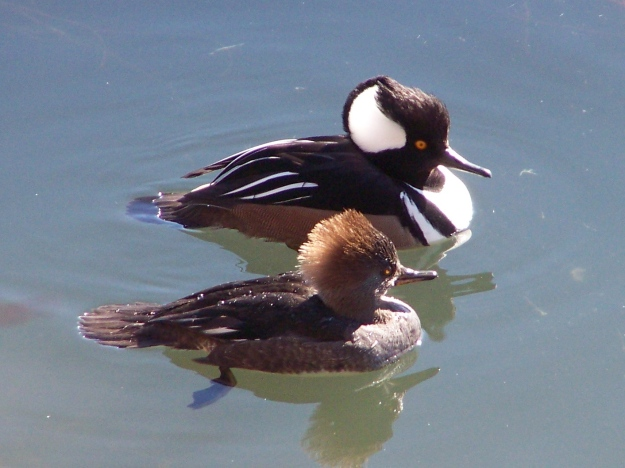 Hooded Merganser (female in front)