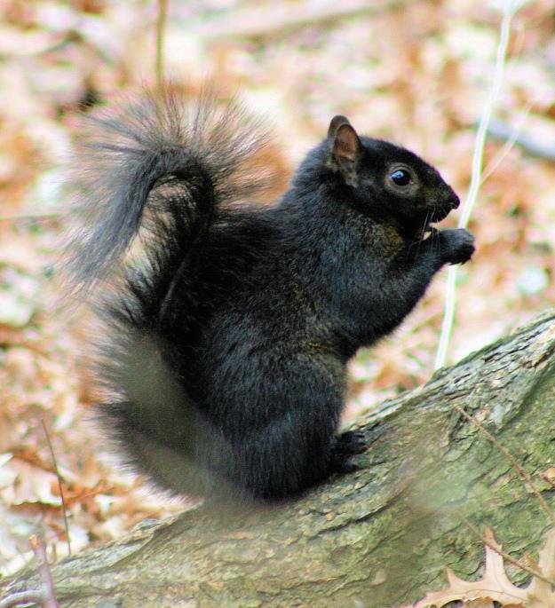 melanisticsquirrel