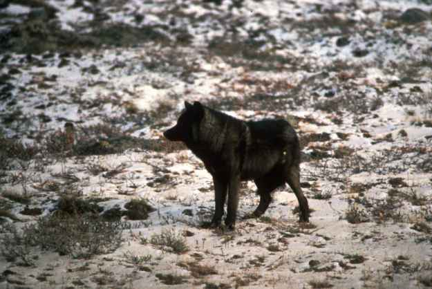melanisticwolf