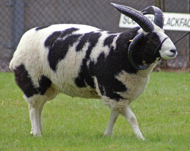 piebald sheep