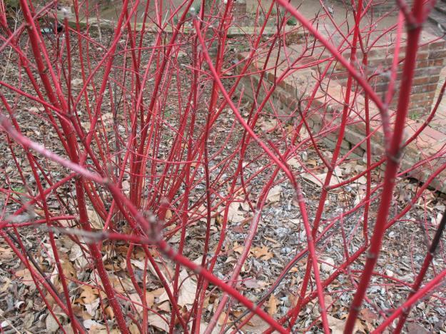 Cornus servicea (red osier dogwood)