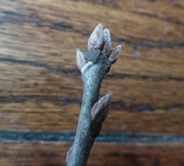 blackoak-bud1