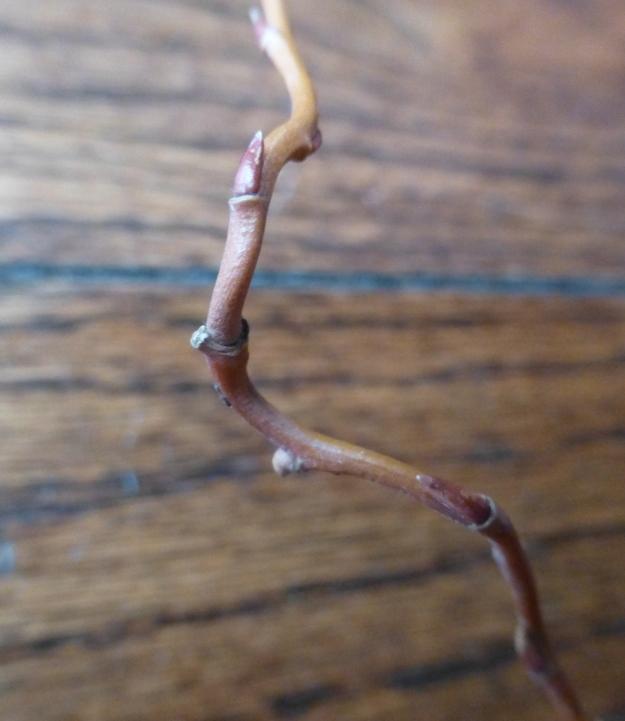 corkscrew-bud2
