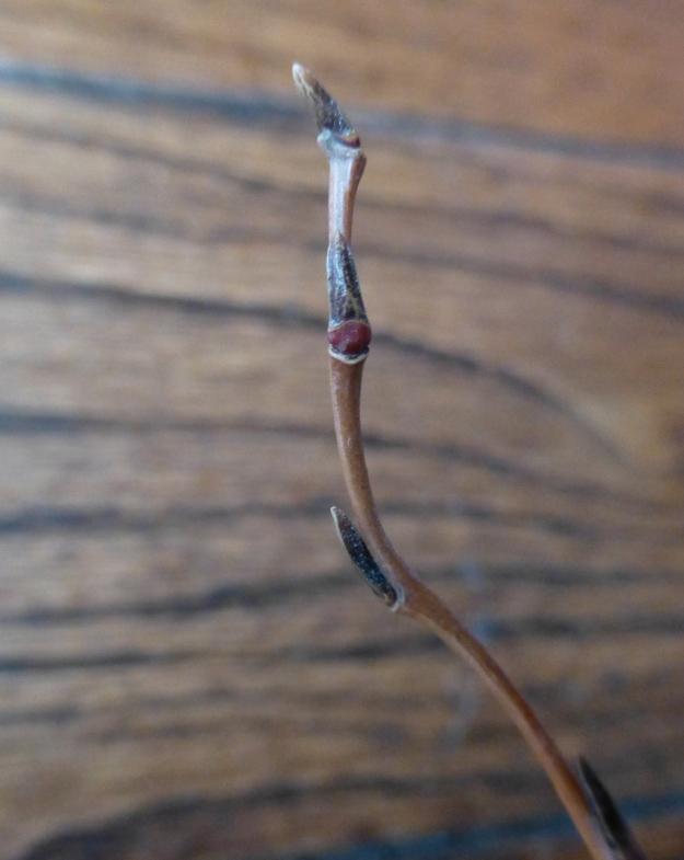 corkscrew-bud3
